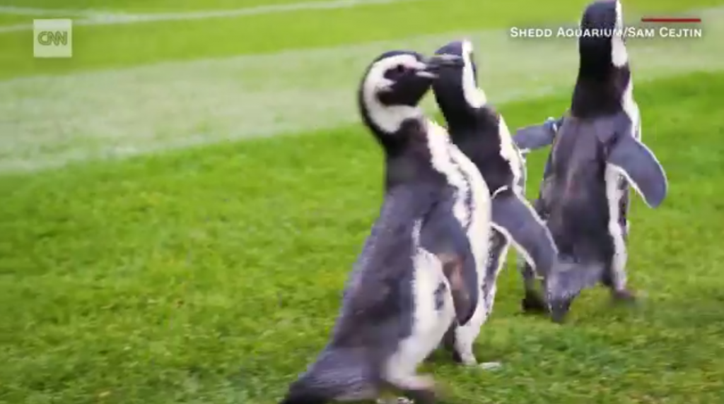 CNN story about penguins visiting Soldier Field in Chicago.